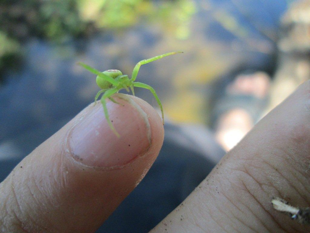 Эбрехтелла - ebrechtella tricuspidata