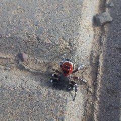 какой это паук?